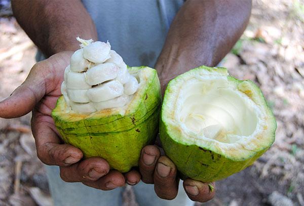 Een cacaovrucht met bonen