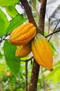 cacaoboom van chocstar
