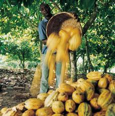 cacao oogst van fair trade callebaut chocolade