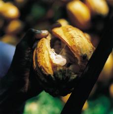 cacao oogst van callebaut chocolade